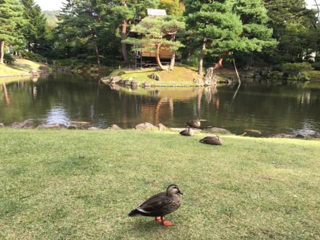 会津御薬園でお昼寝するカモ