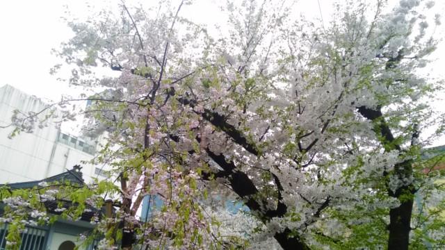 興徳寺さんの満開の桜
